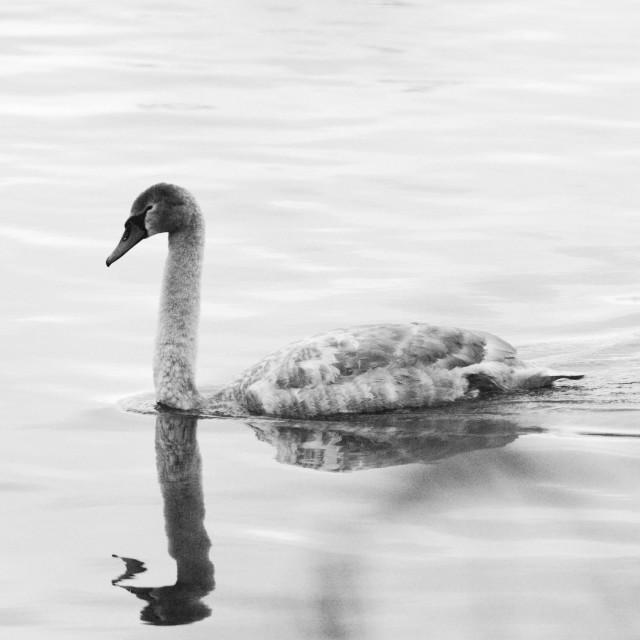 """Swan Cygnet"" stock image"