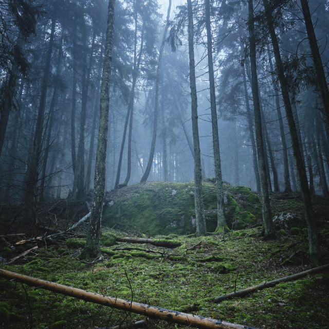 """dense forest in fog with moss on the ground and trees"" stock image"