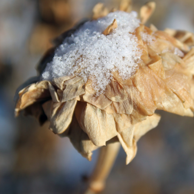 """dead flower with snow on top"" stock image"