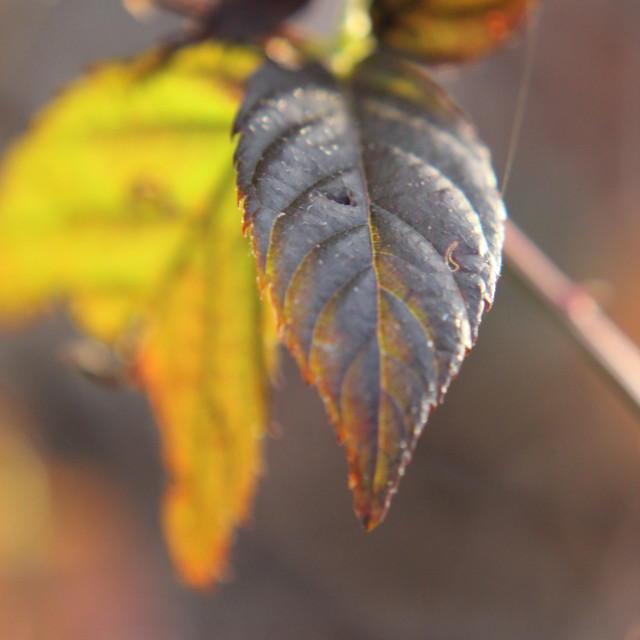 """black berry leaves"" stock image"