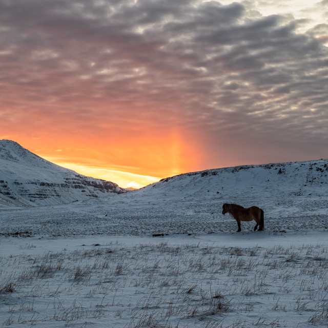 """""""Horse in the mountains at sunset, Iceland"""" stock image"""