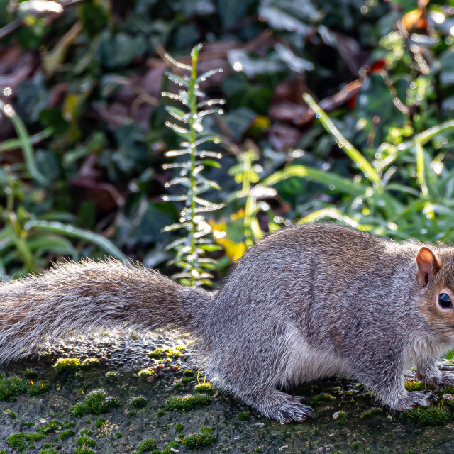 """""""Squirrel on a Wall"""" stock image"""