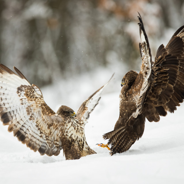 """""""Two common buzzards fighting with wings open on snow in winter"""" stock image"""