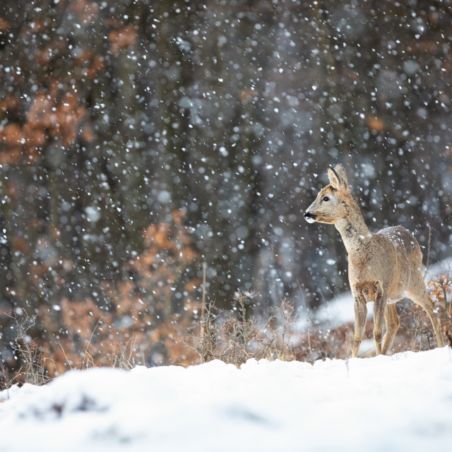 """Female roe doe standing on a meadow covered with snow and forest in background"" stock image"