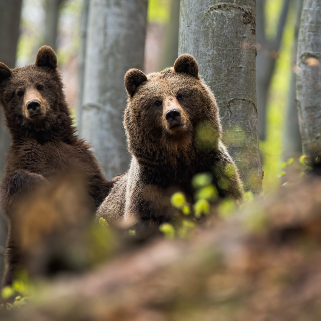 """""""Female of brown bear together with her cub in the woods"""" stock image"""