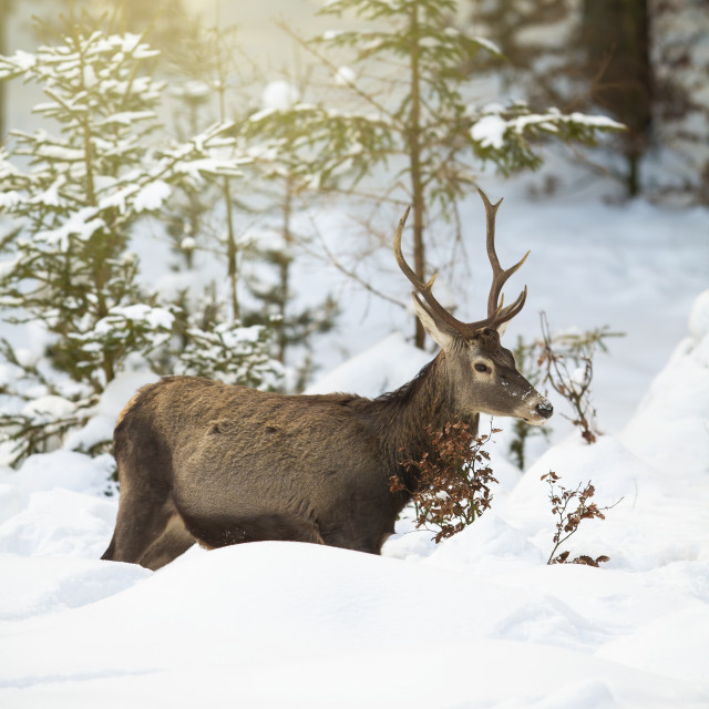 """""""Red deer stag struggling in deep snow in winter forest with sun rays"""" stock image"""