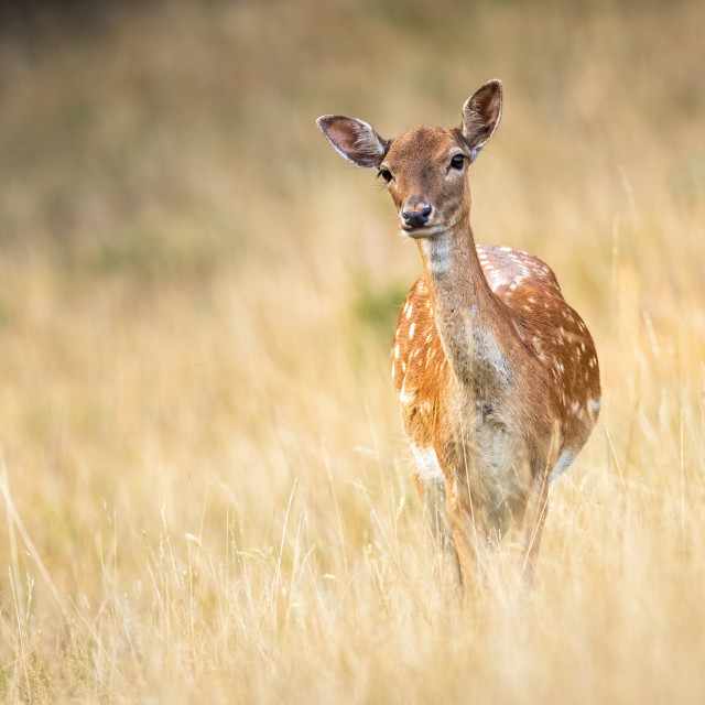 """Attentive fallow deer doe watching and listening on a meadow with copy space"" stock image"