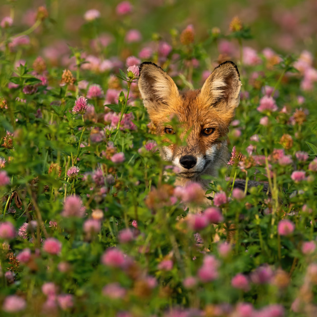 """""""Red fox hiding in tall grass on a meadow with wild flowers"""" stock image"""