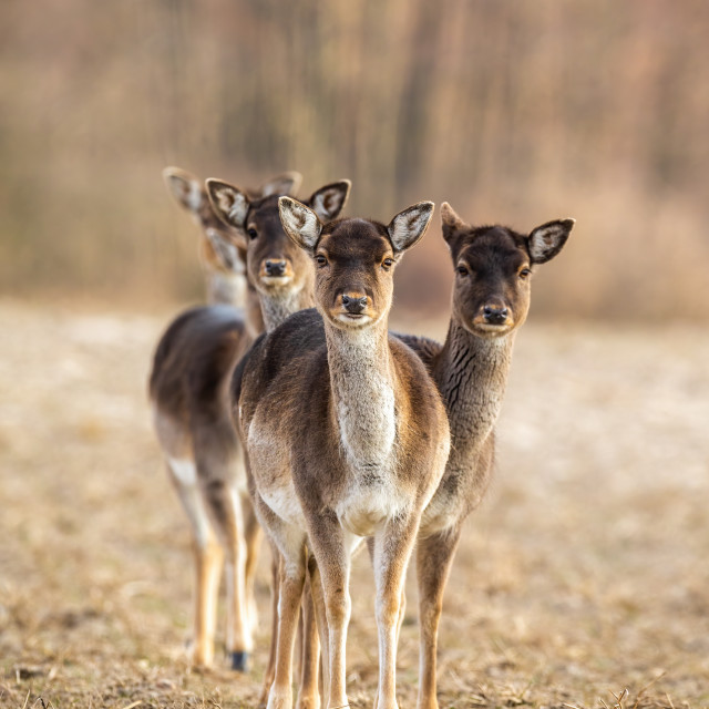"""Vertical photo of fallow deer herd facing camera with copy space"" stock image"