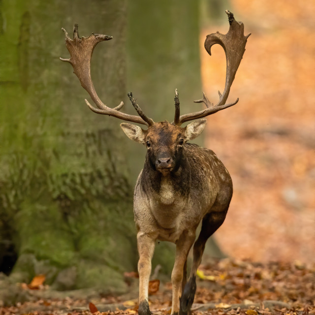 """""""Fallow deer stag with antlers running forward and approaching in autumn forest"""" stock image"""