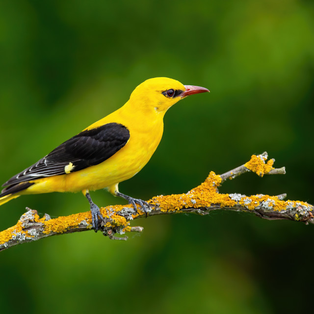 """""""Male adult golden oriole, oriolus oriolus, on a moss covered twig in summer"""" stock image"""