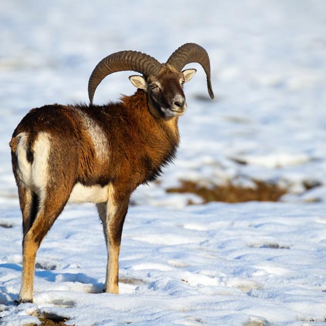 """Wild mouflon ram standing on snow in winter looking behind"" stock image"