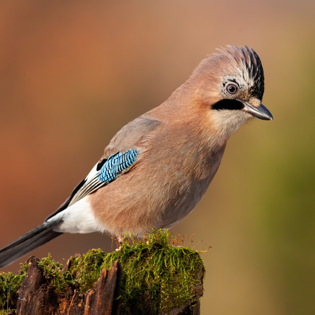 """""""Jay sitting on top of old tree trunk with green moss at sunset."""" stock image"""