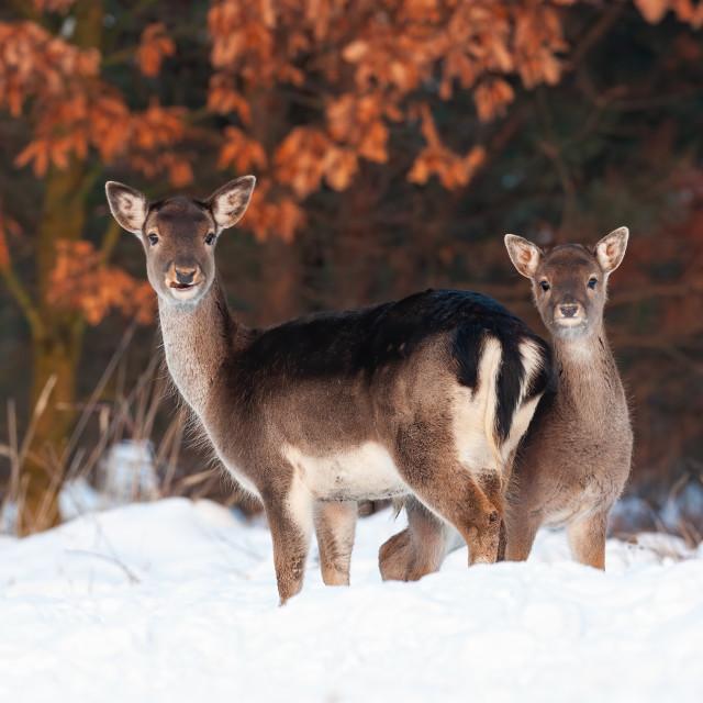"""Fallow deer doe and fawn standing close and facing camera"" stock image"