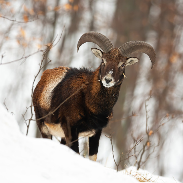 """""""Front view of wild mouflon male in wilderness during wintertime"""" stock image"""