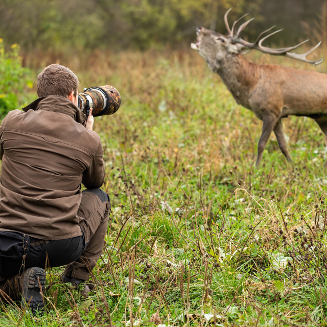 """Male wildlife photographer taking pictures of red deer stag roaring on a meadow"" stock image"