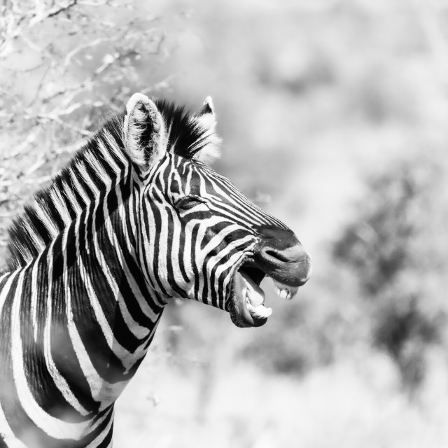 """Black and White Zebra (Equus quagga) looking as if it's laughing, taken in..."" stock image"