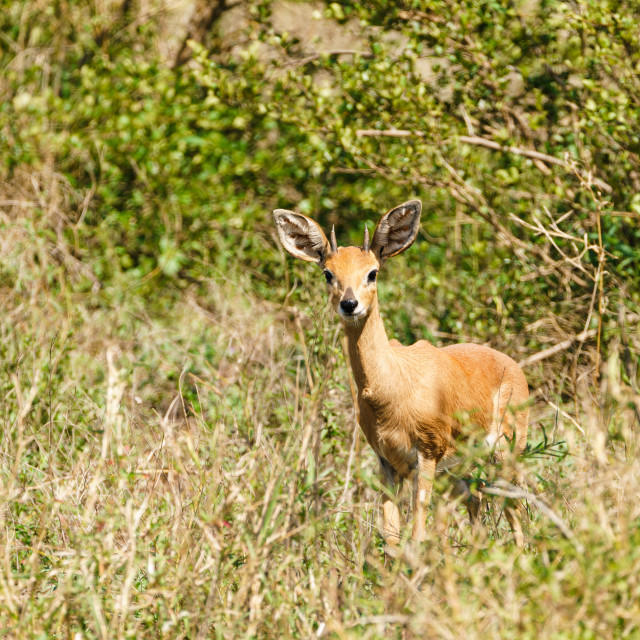 """Steenbok (Raphicerus campestris) staring at camera, taken in South Africa"" stock image"