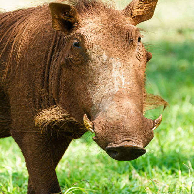 """Warthog (Phacochoerus africanus) portrait, taken in Kruger Park, South Africa"" stock image"