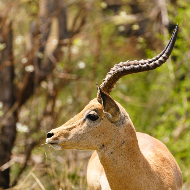"""Impala (Aepyceros melampus) male with impressive horns, with a piece of grass..."" stock image"
