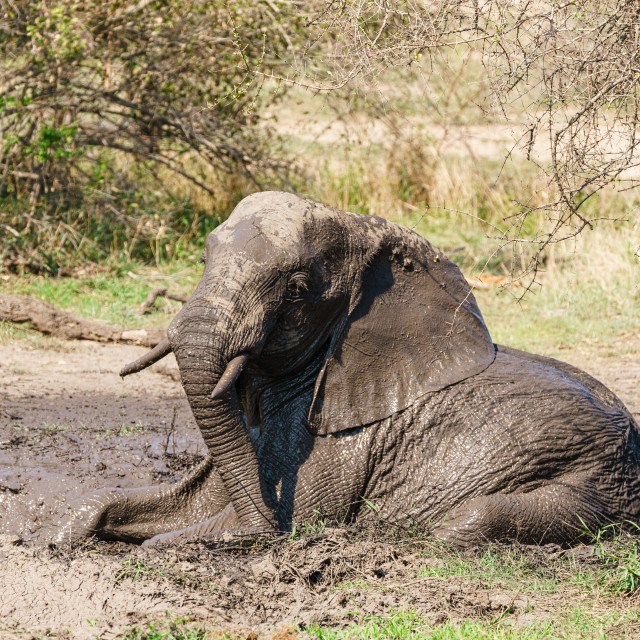 """Young African Elephant (Loxodonta africana) bull in a mud bath, taken in..."" stock image"