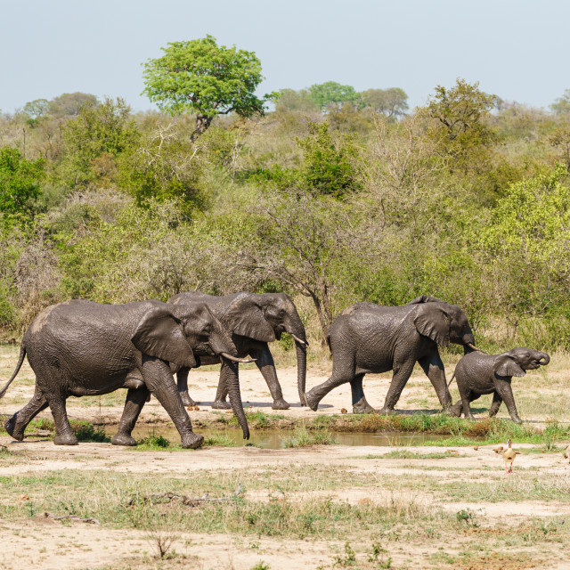 """Small family of African Elephant (Loxodonta africana) moving past a watering..."" stock image"