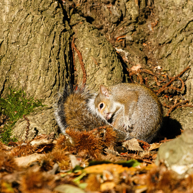 """Gray Squirrel (Sciurus carolinensis) curled up in leaves next to a tree,..."" stock image"