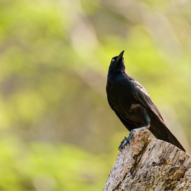 """Common Grackle (Quiscalus quiscula) standing proud on top of tree stump,..."" stock image"