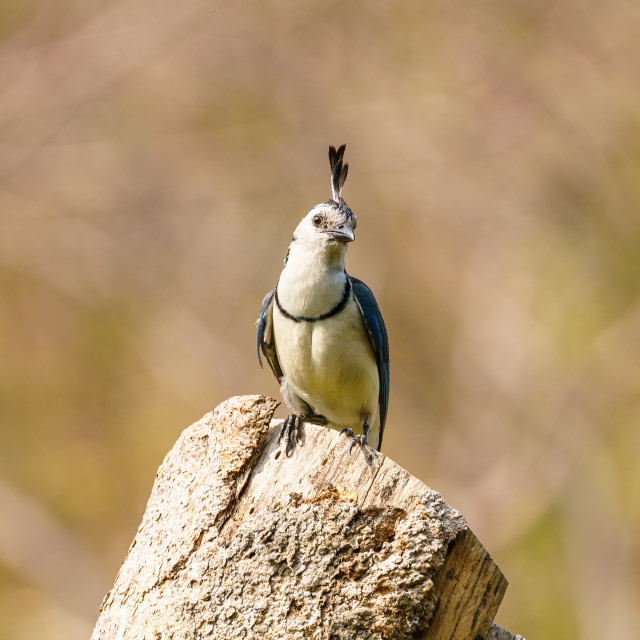 """White-throated Magpie-Jay (Calocitta formosa) perched on a tree stump, in..."" stock image"