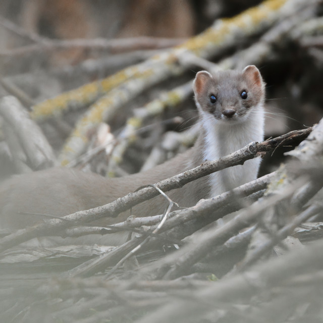 """""""Weasel among fallen branches"""" stock image"""