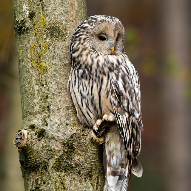 """""""Ural owl, strix uralensis, sitting on a tree in forest"""" stock image"""