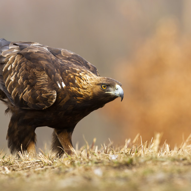 """""""Golden eagle sitting on a meadow in autumn with copy space"""" stock image"""