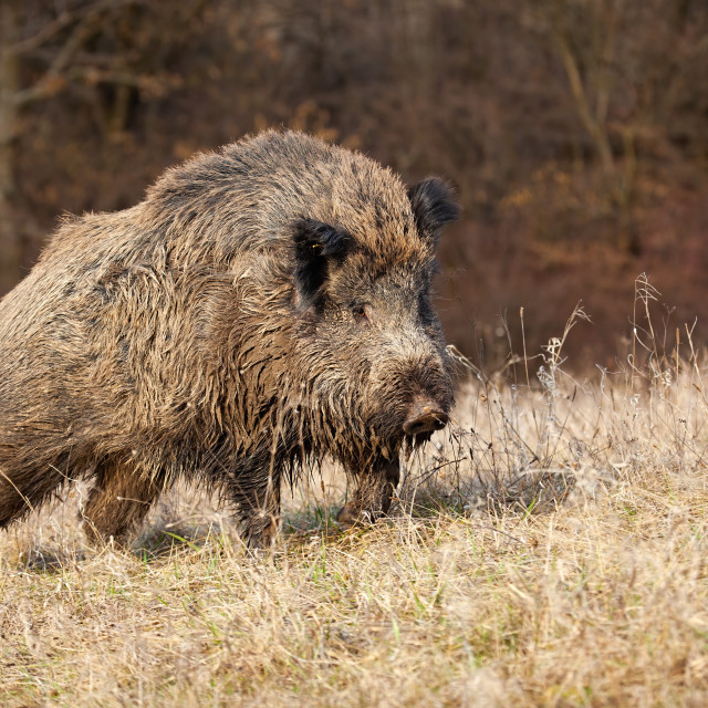 """""""Majestic wild boar walking on a meadow in sunny autumnal morning"""" stock image"""