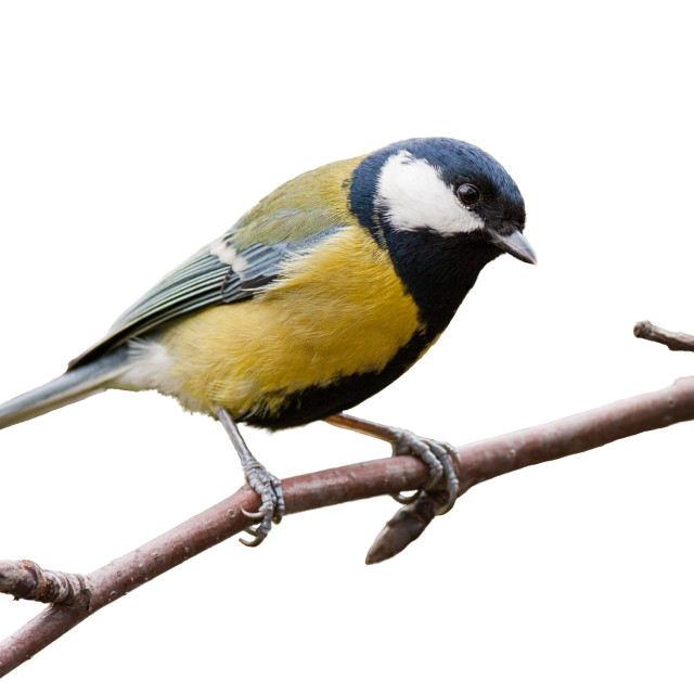 """""""Great tit sitting on a twig in garden isolated on white background."""" stock image"""