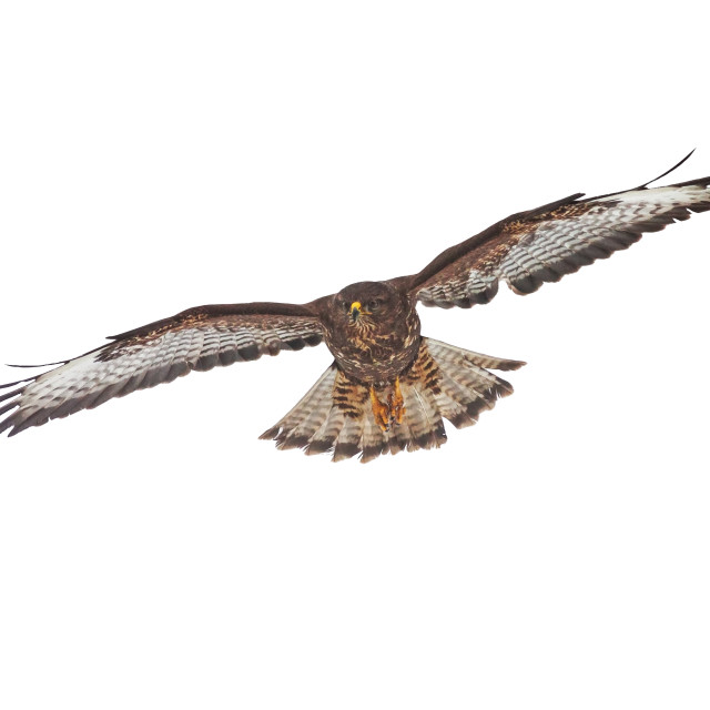 """Common buzzard, buteo buteo, flying isolated on white background"" stock image"