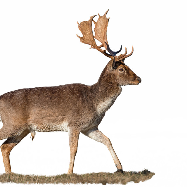 """""""Fallow deer, dama dama, stag with antlers isolated on white"""" stock image"""