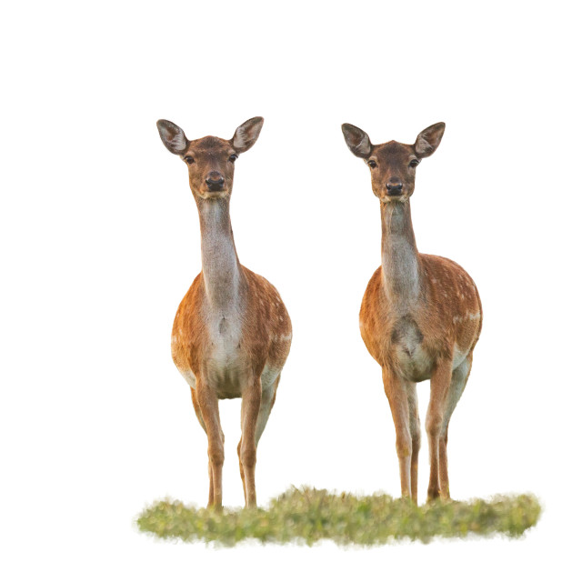 """""""Cute fallow deer does watching camera isolated on white"""" stock image"""