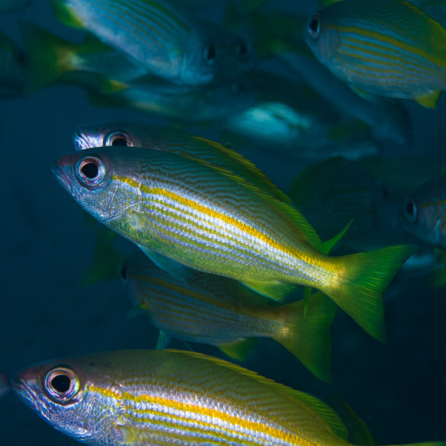 """Yellow snapper or Bigeye snapper fish"" stock image"