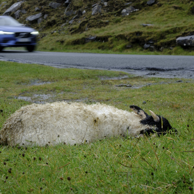"""""""Dead young sheep on the side of the road"""" stock image"""