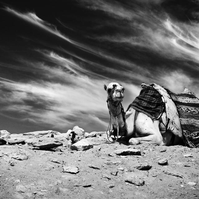 """Resting Camel"" stock image"