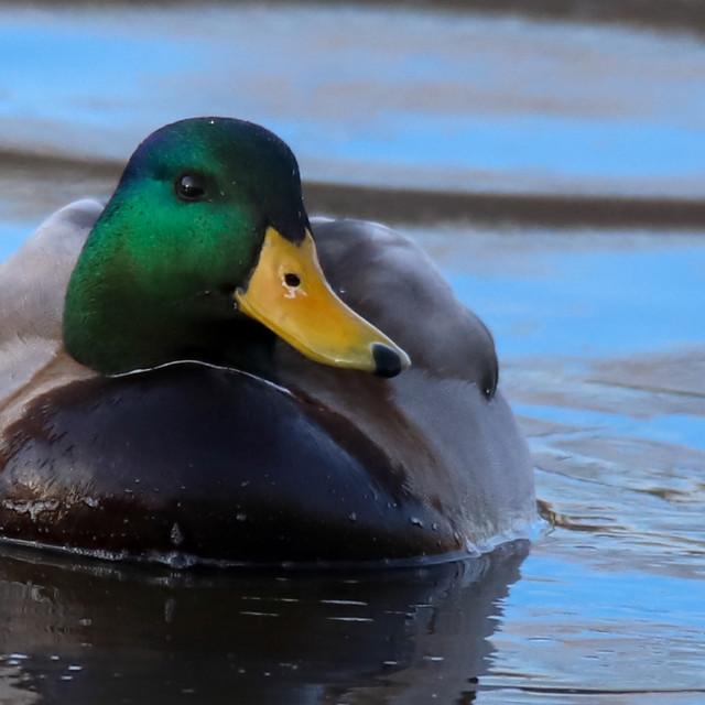 """A Mallard Duck Swimming"" stock image"