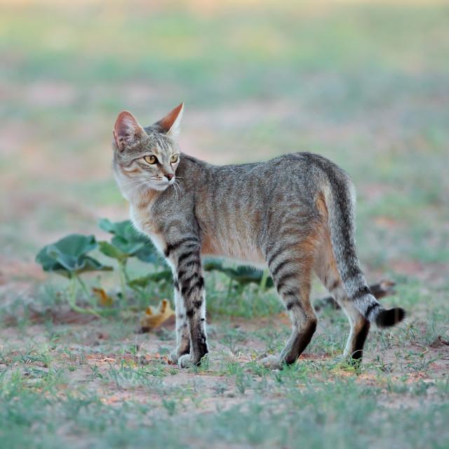 """""""African wild cat in natural habitat"""" stock image"""