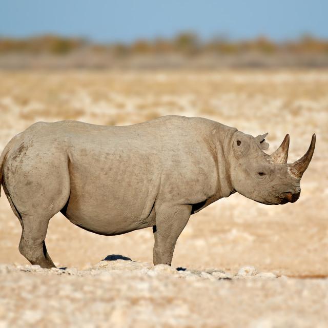 """""""Black rhinoceros - Etosha National Park"""" stock image"""