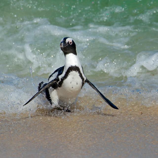"""African penguin running on beach"" stock image"