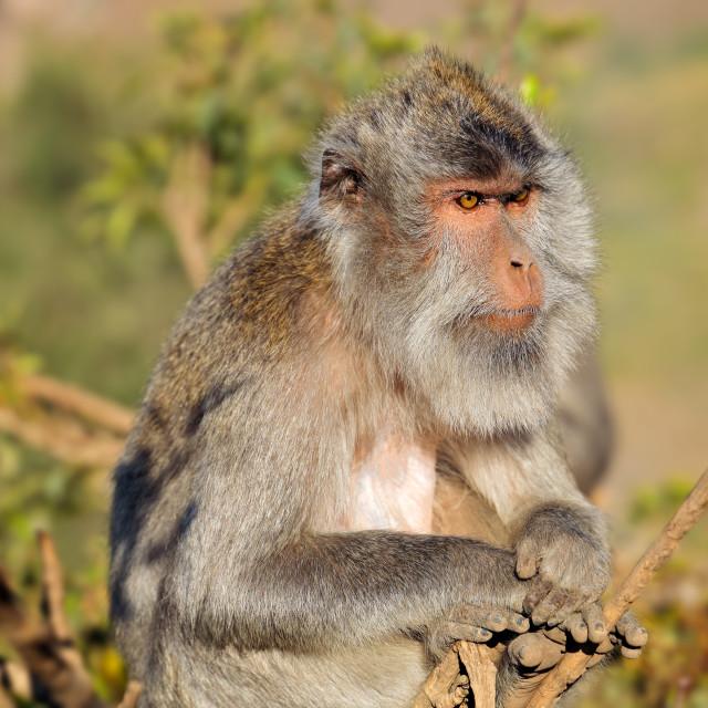 """""""Balinese long-tailed monkey - Indonesia"""" stock image"""