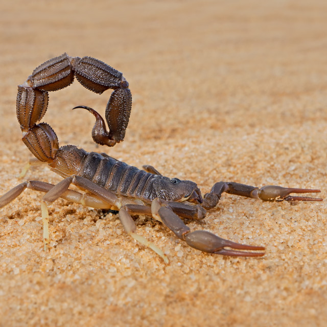 """""""Granulated thick-tailed scorpion"""" stock image"""
