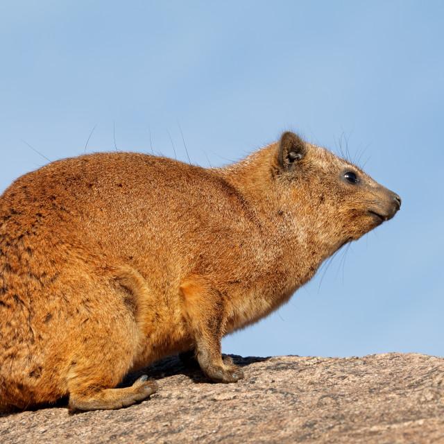 """Rock hyrax basking on a rock"" stock image"