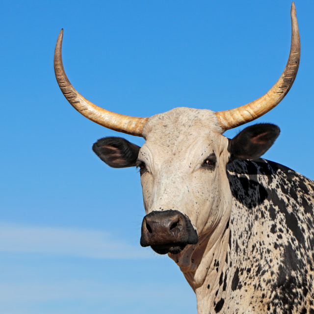"""""""Nguni cow portrait - South Africa"""" stock image"""