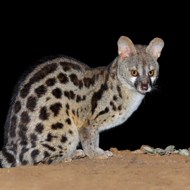 """""""Nocturnal large-spotted genet"""" stock image"""