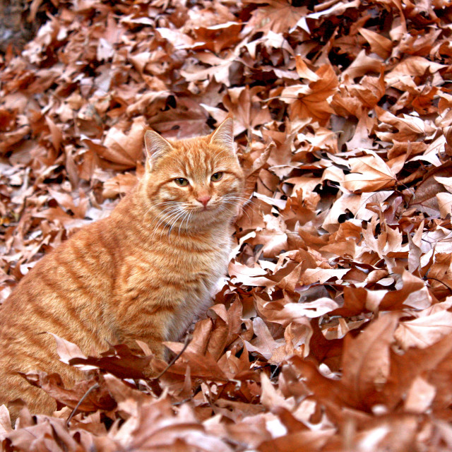 """Brown Cat in Autoumn"" stock image"
